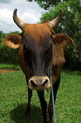Head and shoulders of a native cow, western Kenya Africa