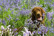 Irish Setter puppy in bluebell wood
