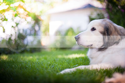 portrait of pretty great pyrenees dog in yard with bokeh background