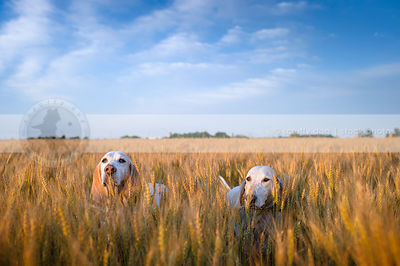 two porcelaine hounds standing in wheat field under blue sky