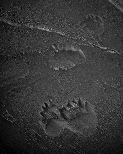 Polar bear tracks in the snow, Baffin Island Canada 2016 © Laurent Baheux