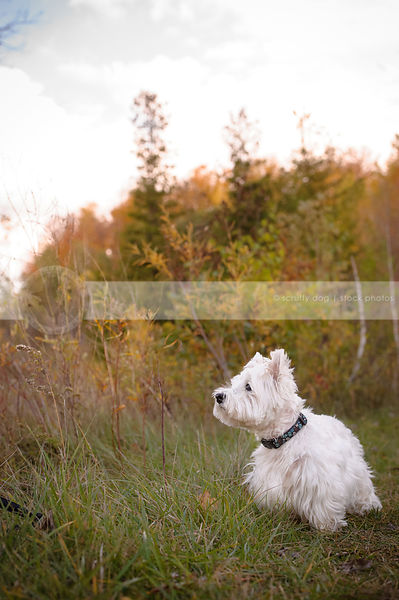 small white groomed terrier dog standing in natural setting