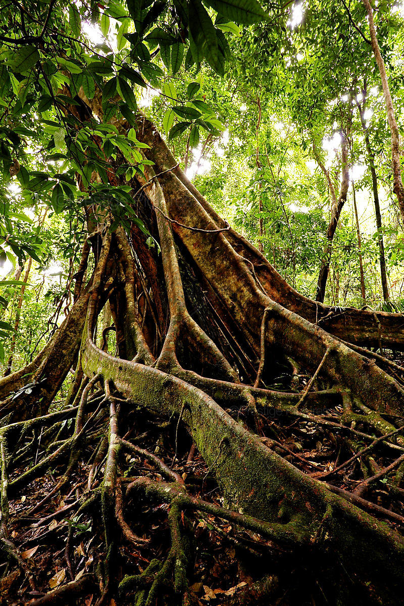 Rain Forest Tree with Buttress Roots