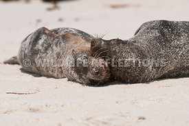 galapagos_sea_lion_sandy_roll_two_4