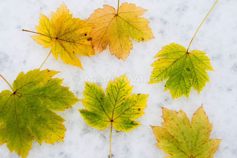 Leaves in Montesinho Natural Park in a snowy day. Tras os Montes, Portugal