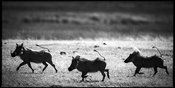 6512-Warthogs_race_Tanzania_2007_Laurent_Baheux