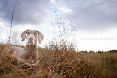 beautiful grey pointer staring at camera from dried grasses