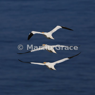 Three adult Northern Gannets (Morus bassanus) flying in formation, Bempton Cliffs (RSPB), East Riding of Yorkshire, England
