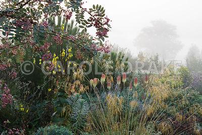 Border includes Stipa gigantea, euphorbia, kniphofias and other herbaceous plants below pine and sorbus trees. Waterperry Gardens, Wheatley, Oxfordshire, UK