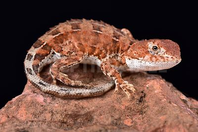 Eyrean earless dragon (Tympanocryptis tetraporophora) photos