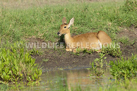 Reedbuck at Pond's Edge 1