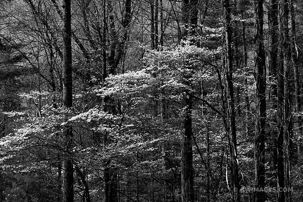 SPRING FOREST FLOWERING DOGWOOD SMOKY MOUNTAINS BLACK AND WHITE