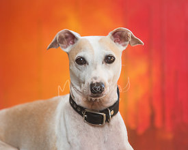 Close-up of Tan and White Italian Greyhound with Red and Orange Background