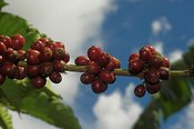 Close up of coffee beans on plant with blue sky behind Uganda Africa  (Coffea arabica)