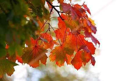 Closeup of Red Autumn Leaves on Tree
