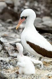 A Nazca Booby with it's young on Espanola Island.
