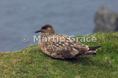 Great Skua (Bonxie) (Stercorarius skua, Catharacta skua) sitting on the edge of the cliff-top, Hermaness National Nature Reserve, Unst, Shetland