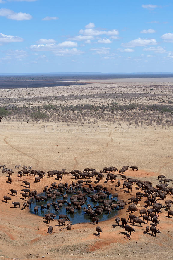 African buffalo (Syncerus caffer) herd drinking in front of Voi lodge, aerial view, Tsavo East National Park, Kenya, October 2008