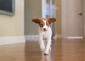 Brittany spaniel puppy running towards camera with ears flopping