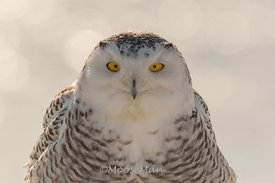The Eyes of a Snowy Owl