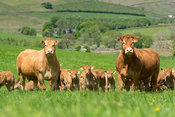 Limousin cows and calves in lush pasture, early summer, Lancashire, UK.