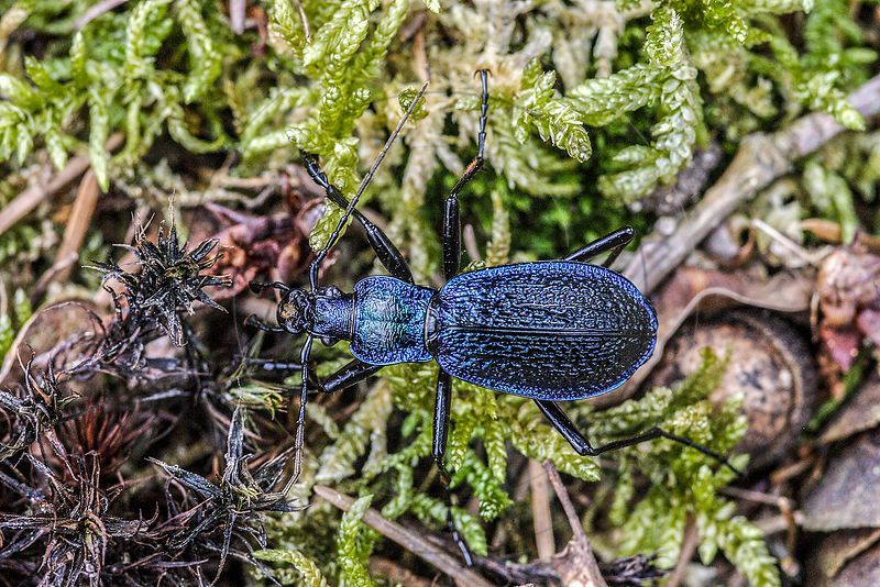 Carabe embrouillé - Ground Beetle (Chaetocarabus intricatus) photos