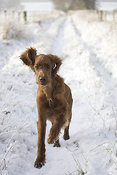 Young Irish setter playing in snow