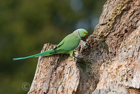 RING-NECKED PARAKEET PSITTACULA KRAMERI Bushy Park Greater London