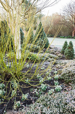 Cornus sericea 'Flaviramea', AGM, with snowdrops and heather. Sir Harold Hillier Gardens, Ampfield, Romsey, Hants, UK