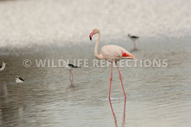Flamingo with Stilts 1