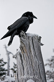 Common Raven (Corvus corax) perched on a dead tree on Hurricane Ridge, Olympic National Park, Olympic Peninsula, Washington, USA, March, 2009_WA_8175