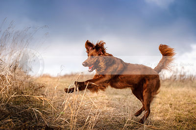 red setter cross breed dog jumping with ball in field