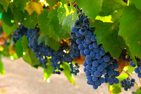 Syrah Grapes #4