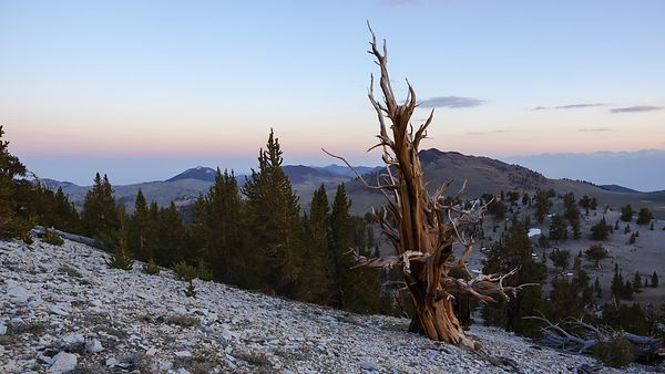 Close Up: The Living Skeleton, Bristlecone Among Pines (Day to Night)