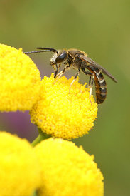 Groefbij - Lasioglossum species (man)