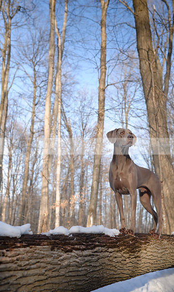 alert grey gundog standing on log in winter setting with sky