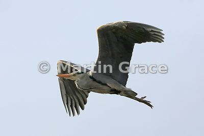 Grey Heron (Ardea cinerea) in flight, Lochindorb, Scottish Highlands