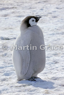 Emperor Penguin (Aptenodytes forsteri) chick, by Snow Hill Island, Weddell Sea, Antarctica