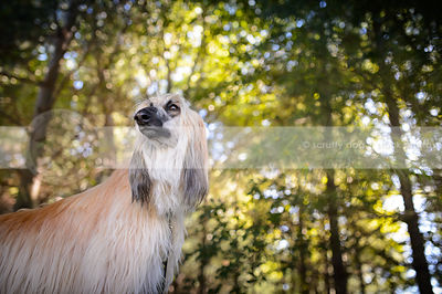 proud longhaired afghan hound dog in natural setting