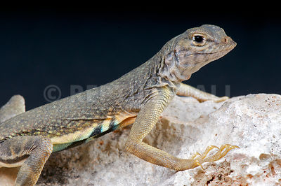 Greater earless lizard (Cophosaurus texanus) photos
