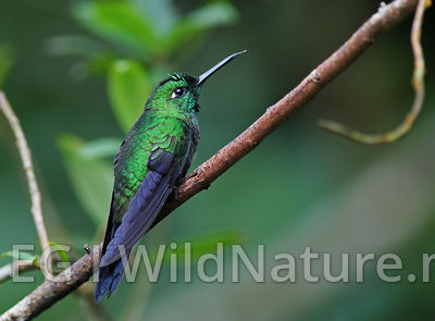 Green-crowned brillian/Blåsmykkebriljant - Costa Rica