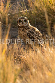 short_eared_owl_in_grass_vertical-1