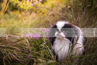 cute little longhaired dog in meadow flowers and grasses