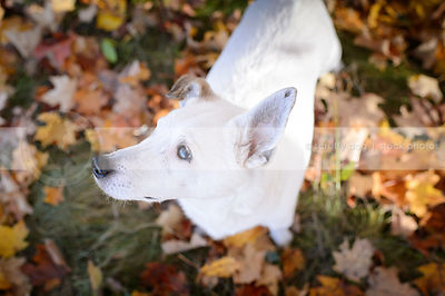 overhead photograph of small white jack russell standing in autumn leaves
