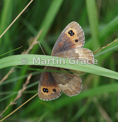 Under side of male Scotch Argus butterfly (Erebia aethiops) resting on grass, Scottish Highlands, Cairngorms National Park, Badenoch, Scottish Highlands