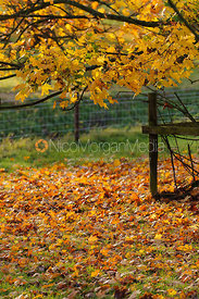 Stock images of backlit autumn leaves