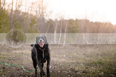 crazy senior black retriever running in field