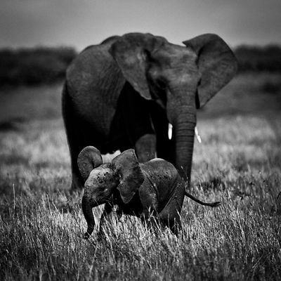 0030-Baby_elephant_with_an_adult_Masai_Mara_Kenya_2006_Laurent_Baheux
