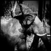 7648-Elephant_shooking_his_ears_Laurent_Baheux
