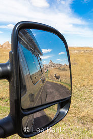 Bighorn Sheep Reflected in Mirror in Badlands National Park